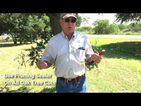 How And When To Properly Prune Your Oak Trees