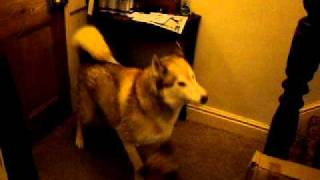 Husky Sooo Tolerant Of Young Border Terrier.avi