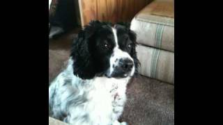 A Clumsy, But Lovable Black And White Springer Spaniel