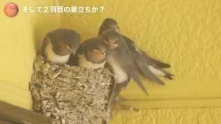 1羽巣立ち、巣の中がちょっとだけ楽になった。