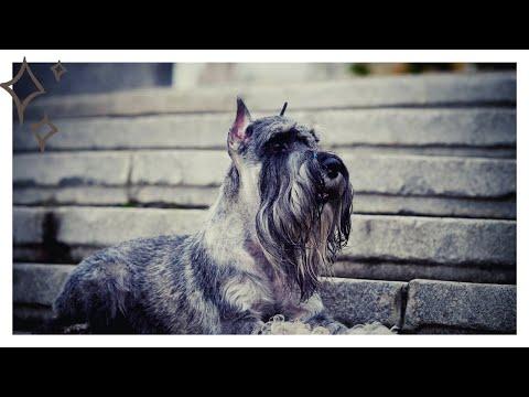 Миттельшнауцер собака- описание, особенности