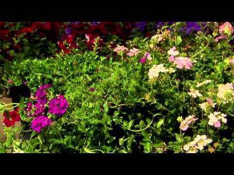 Grow Verbena For Flourishing Summer Flowers