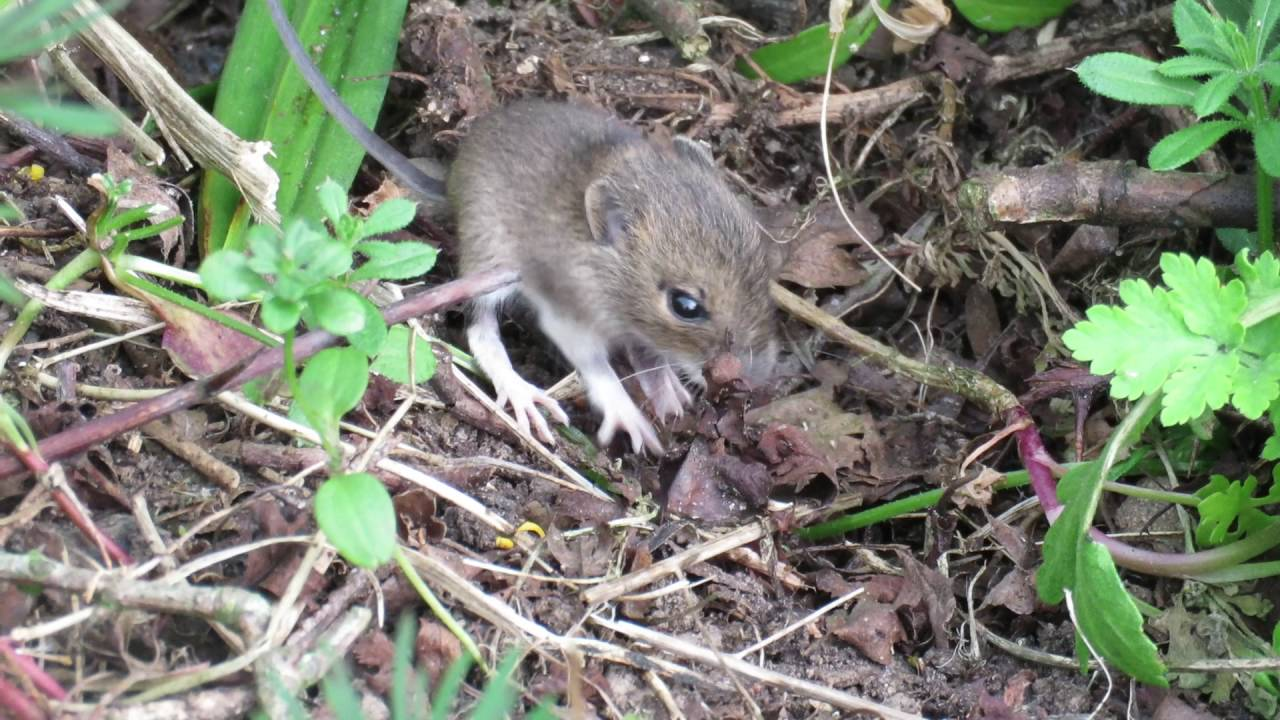 Baby field mice - YouTube