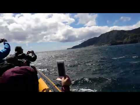 Multiple Humpback Whales Breaching Jumps in São Miguel, Azores Islands | TERRA AZUL™