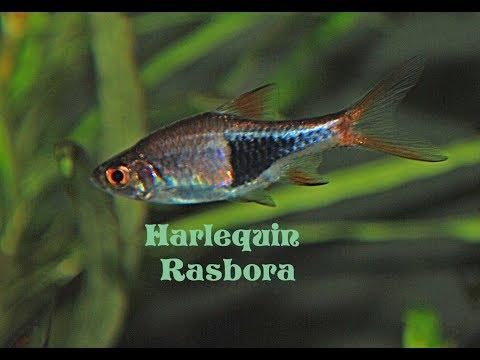 Harlequin Rasbora ( Trigonostigma Heteromorpha ) Species Profile