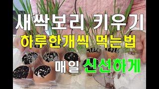 칼슘먹인 보리새싹키우기, 보리새싹 매일먹는방법