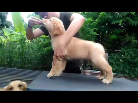 Perfect Pedigree Thailand's show quality male Golden Retriever puppy for sale