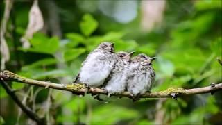 Junge Grauschnäpper und ihre fleißigen Eltern