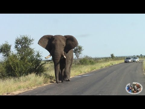 Angry Elephant Blocking Road In Kruger Park.