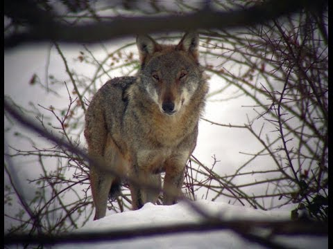 Wild Abruzzo: la Regione dei Lupi