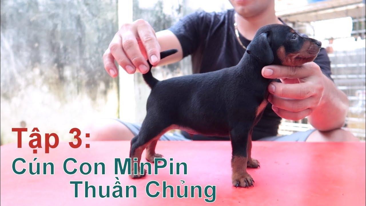 T3: Gặp Gỡ & Xem Đàn Chó MinPin Thuần Chủng/ Miniature Pinscher/ NhamTuatTV - Dog in Vietnam