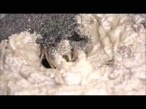Crayfish Moving Mud
