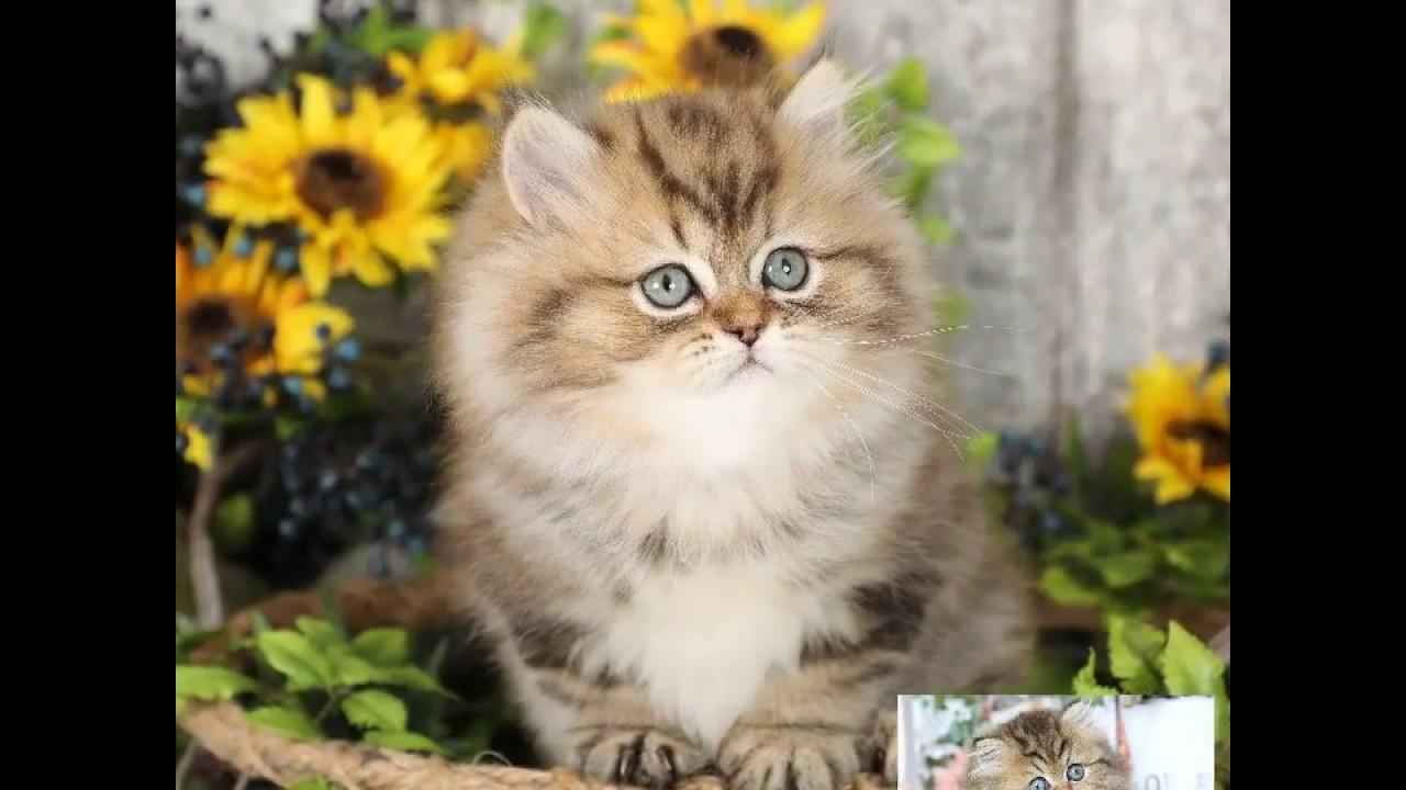 Beautiful Persian Kittens Available