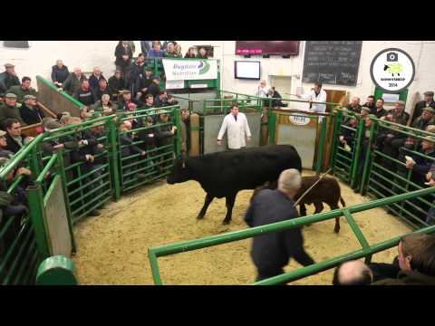Kirkby Stephen Mart  Cattle with calves at foot
