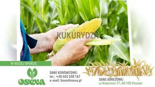 Materiał siewny roślin rolniczych nasiona kukurydzy mieszanki traw Poznań Oseva Polska