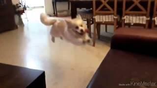 Собака переоценила возможности. Fail