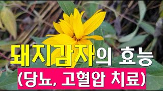 이 아름다운 꽃의 이름은 돼지감자 입니다 (고혈압, 당…