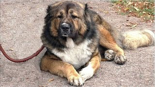 Собака - Лев. Кавказская овчарка. Dog - Lion. Caucasian Shepherd Dog. Одесса.