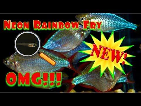 Dwarf Neon Rainbow Fish Fry. Praecox Ranbowfish.