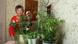 Как ухаживать за комнатными растениями(Как ухаживать за комнатными растениями - мой уход за комнатными растениями., 2016-09-25T19:27:07.000Z)