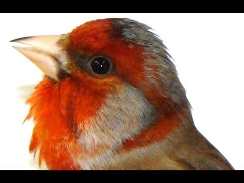 Вольеры для певчих птиц своими руками фото 808