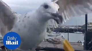 Seagulls attempt to eat chips through car window screen - Daily Mail