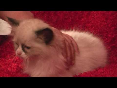 Blues, Seals, Bi-colors, Lynx  Ragdoll Kittens February 4, 2017- A Ragdoll To Love Cattery