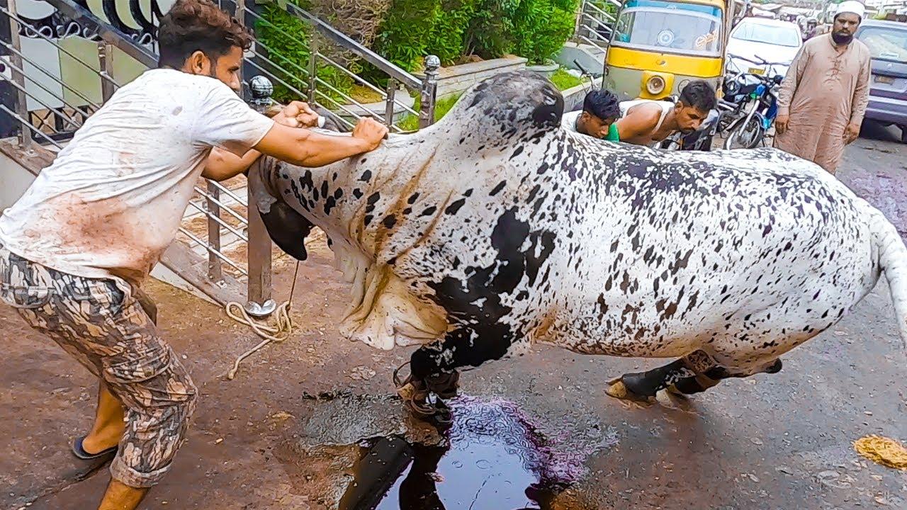 Big & HEAVY Cholistani Bull Qurbani at Garden East Bakra Eid 2021 Qurbani 2021 Cattle Market Karachi