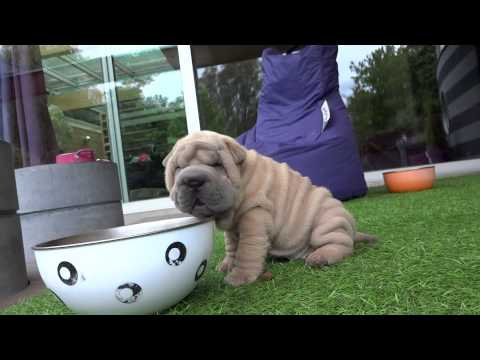 sharpei pups playing at 6.5 weeks