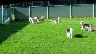 Omaha Siberian Husky Play Group - Let The Fur Fly