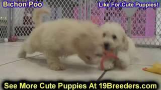 Bichon Poo, Puppies, For, Sale, In, Anchorage, Alaska,AK, Fairbanks, Juneau, Eagle River