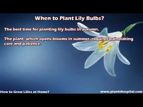 How to Grow Lilies at Home: Planting, Care, Types & More (With Video)