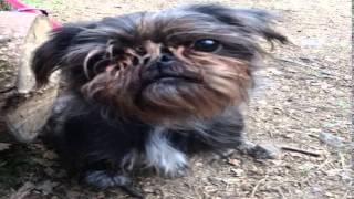 Pug Zu Pictures | Best Pug Zu Pictures Compilation