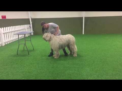 Komondor Conformation Training