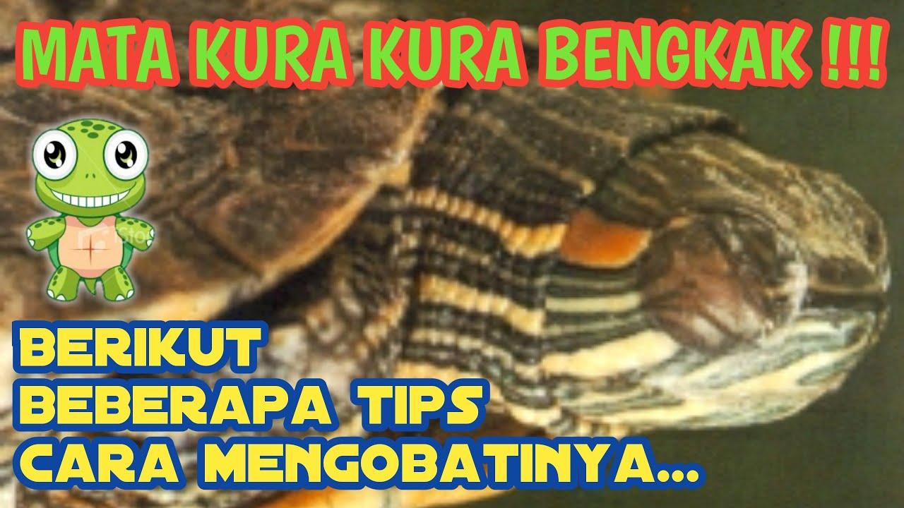 TIPS CARA MENGOBATI MATA BENGKAK PADA KURA - KURA [Full HD ...