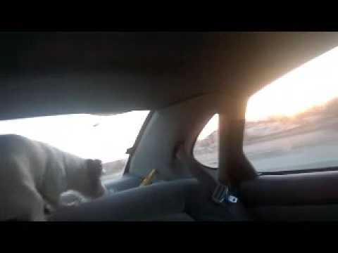 Funny dog in a car (1)