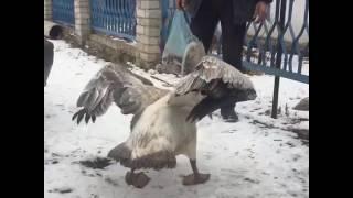 Гоша, третий пеликан, которого спасли в Иртышском районе