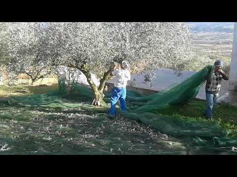 Assares, récolte des olives au Portugal