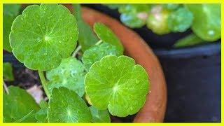 Quelles sont les vertus du gotu kola, ou centella asiatica ?
