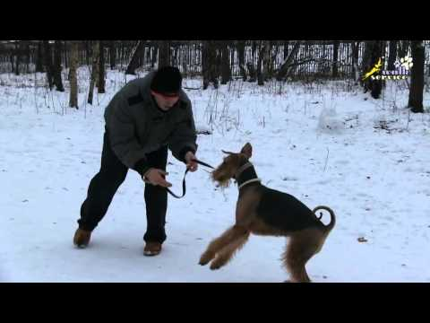 1  Dog Training  Airedale  The Dog Bites Hands While Playing