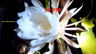 Nightblooming flower - Epiphyllum oxypetalum - Night Queen