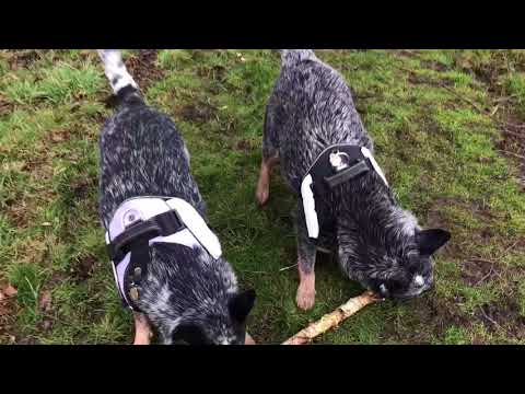 Australian cattle dogs and their stick