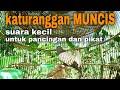 Perkutut Lokal Alam Suara Kecil Untuk Pancingan  Mp3 - Mp4 Download