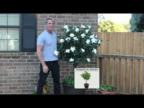 Cottage Farms Double Blooming Gardenia Patio Tree with Dan Wheeler