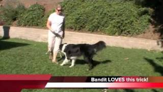 Bandit's Boing Trick Progress - Clicker Training Dog Tricks