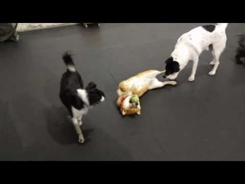 Shiba and Papillon playing at doggie daycare