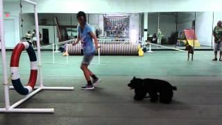Junior American Cocker Spaniel Agility Beginner Training 05/10/2015