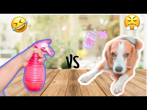Beagle (flash) Reaction to Water Spray | Funny Videos | Funny Beagle Dog