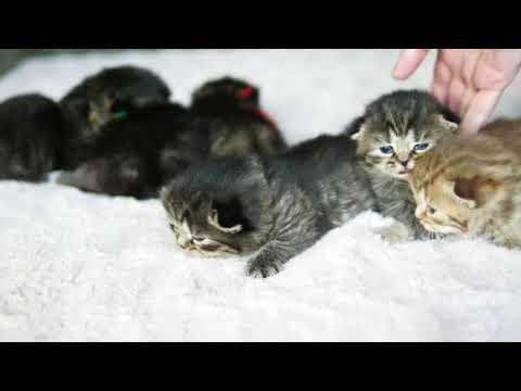 Британские котята, 2 недели (Litter-H2)
