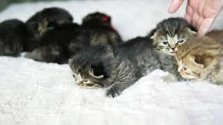 Британские котята в возрасте 2 недели (Litter-H2)
